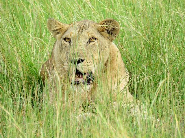 Lion in Queen Elizabeth National Park in Uganda