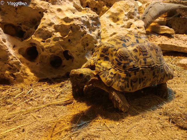 Tartaruga ospite al rettilario di Leolandia