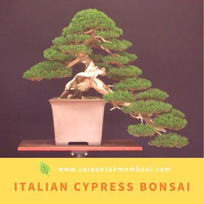 Italian Cypress Bonsai