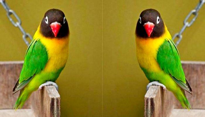 Lovebird non klep