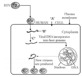 Study the diagram showing the entry of HIV into the human body and the processes that are followed