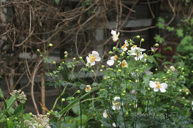 This photo features a variety of anemone flowers known as 'Honorine Jobert.' They bloom in the fall and the ones seen here are white and this type of flower is featured in other posts on my blog @ https://www.thelastleafgardener.com/search?q=Anemone