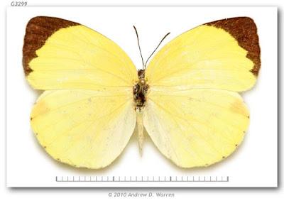 Mariposa limoncito dos puntos (Eurema leuce)