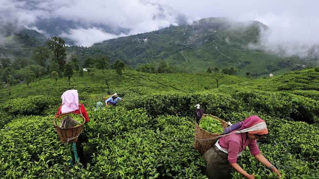 TDS anxiety for tea gardens