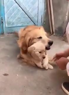 Video viral de perra que protege a su último cachorrito para que no se lo saquen
