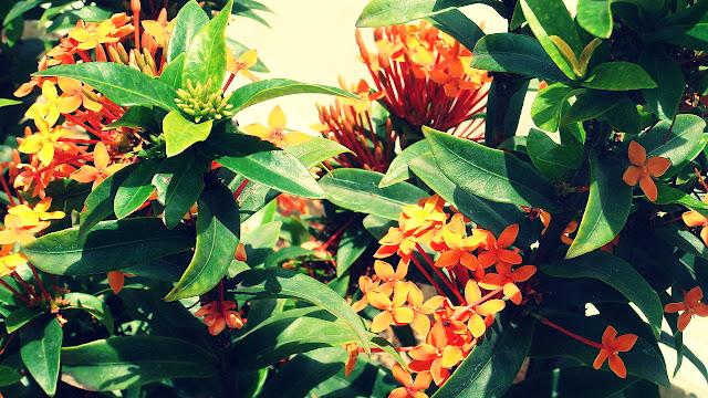 Manfaat Bunga Asoka Untuk Kecantikan