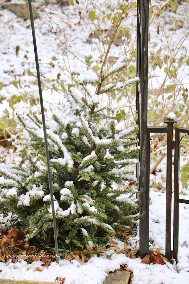 Birds find protection from predators and rival birds by perching on recycled small Christmas trees outside