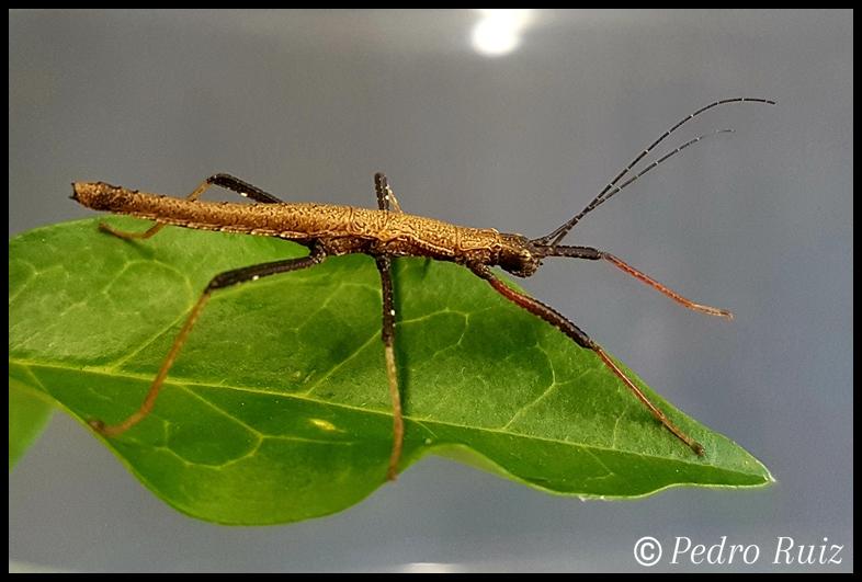 """Ninfa hembra L4 de Pseudophasma scabriusculum """"Panguana"""", 2,8 cm de longitud"""
