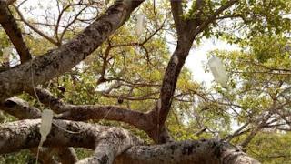 700 साल के बीमार पेड़ को चढ़ाई गई 'ड्रिप'