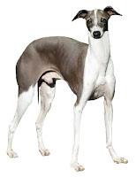 Hızlı koşan bir köpek türü olan uzun bacaklı tazı köpeği