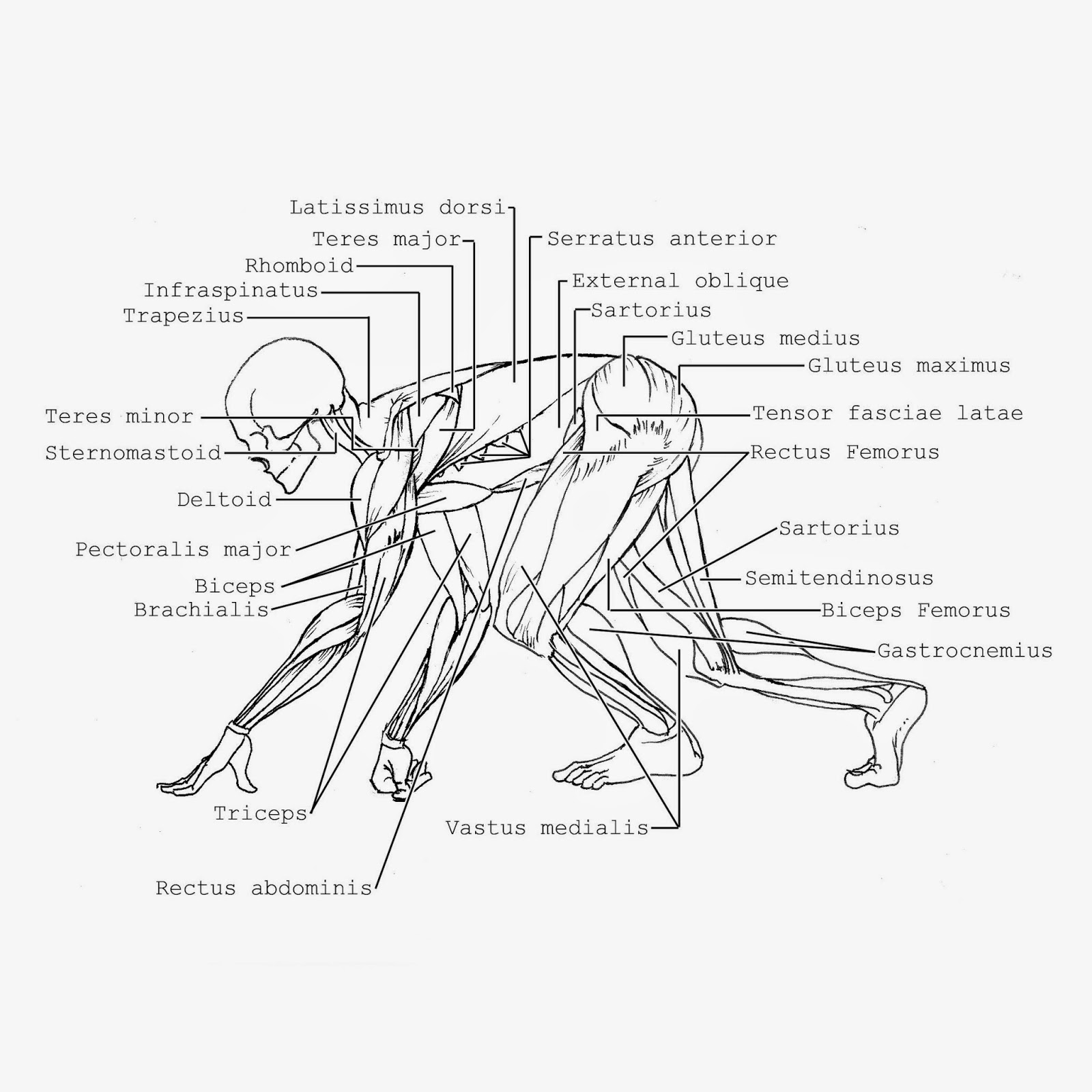 Sonjebasaland Animal Drawing Comparitive Anatomy Quick Reference