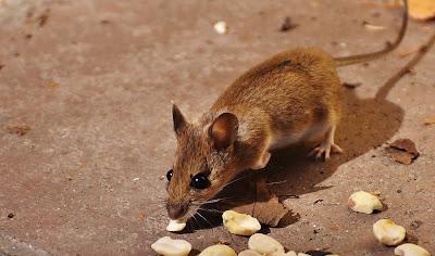 Tips halau tikus