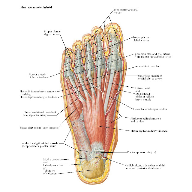 Muscles of Plantar Region of Foot: First Layer Anatomy
