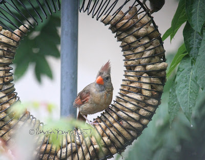 "The focus of this photo is a female cardinal who is perched on a bird feeder which is made of coils and shaped like a wreath and has the function of ""holding"" peanuts within a shell. She is attempting to survey the peanuts within the feeder. This ""scene"" occurred in my garden, which is the setting for my book series, ""Words In Our Beak."" Info re these books is included in another post within this blog @ https://www.thelastleafgardener.com/2018/10/one-sheet-book-series-info.html"