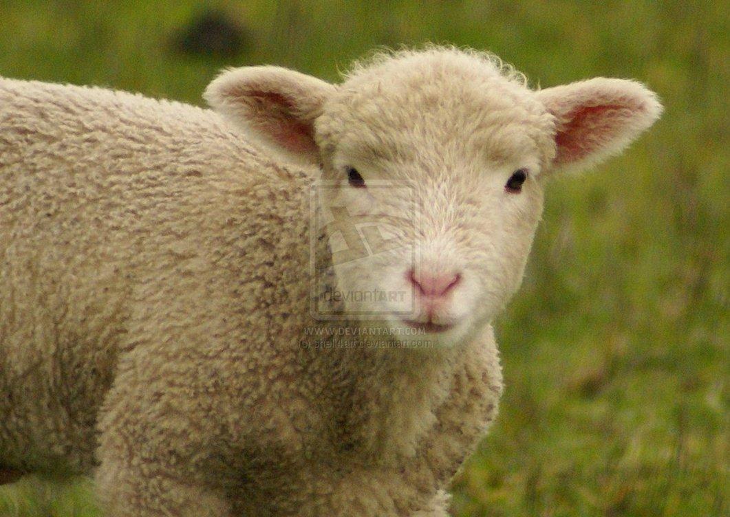 Audi Little Rock >> Where Is Wallpaper: sheep wallpaper
