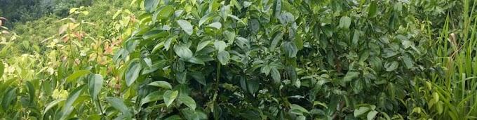Ceylon Cinnamon for Immune System