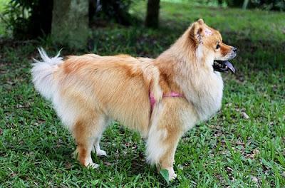 اسعار كلاب تشاو تشاو