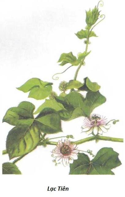 Hình trong sách - LẠC TIÊN - Passiflora foetida - Nguyên liệu làm Thuốc Ngủ, An Thần, Trấn Kinh
