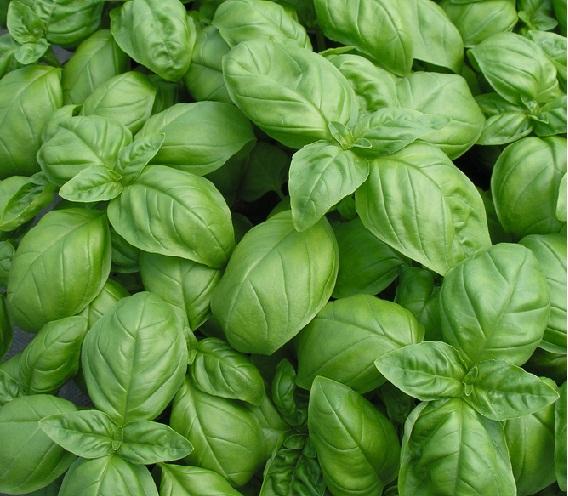 Manfaat Daun Basil Bagi Kesehatan Tubuh, khasiat dari daun basil untuk kesehatan