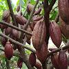 Nih...!!! Manfaat buah coklat untuk kesehatan