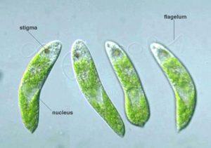 http://dosenbiologi.com/tumbuhan/jenis-jenis-alga