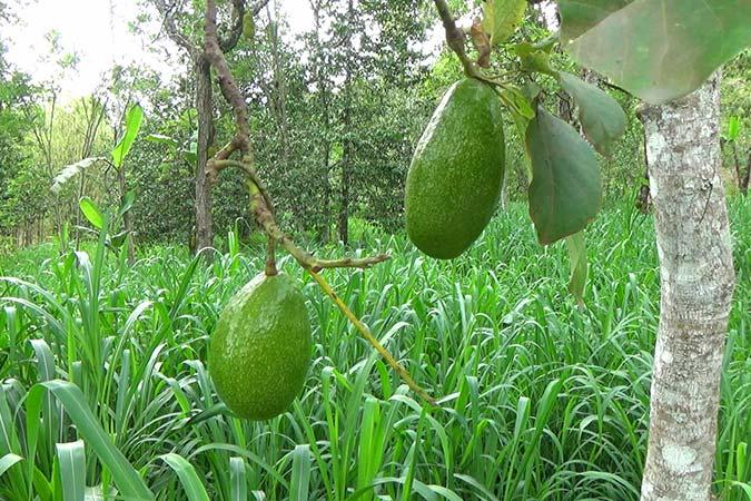 Dlium Avocado (Persea americana)