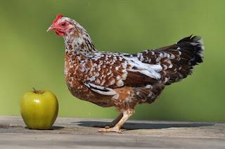 Ayam hias termahal Olandsk Dwarf