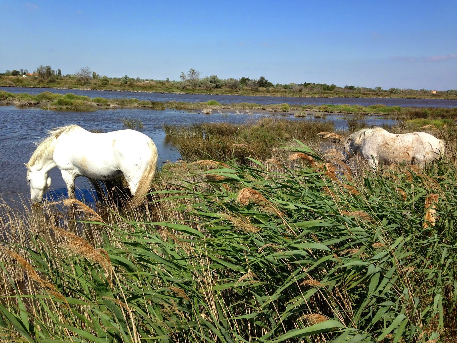 Horses, marshes and mistral, on the D570, Camargue