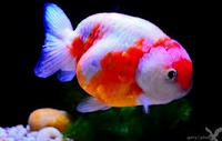 Jenis Ikan Koki Lionhead ikan koki