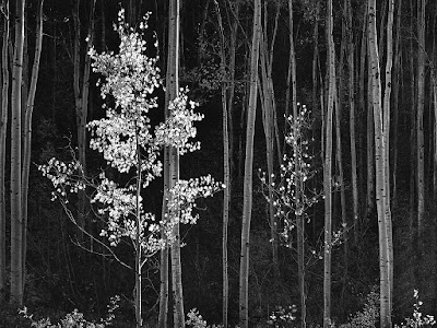 Ansel Adams | Aspens Northern New Mexico | 1958, Image courtesy Ansel Adams, Aspens, Northern New Mexico, 1958 _ anseladams.com.jpg