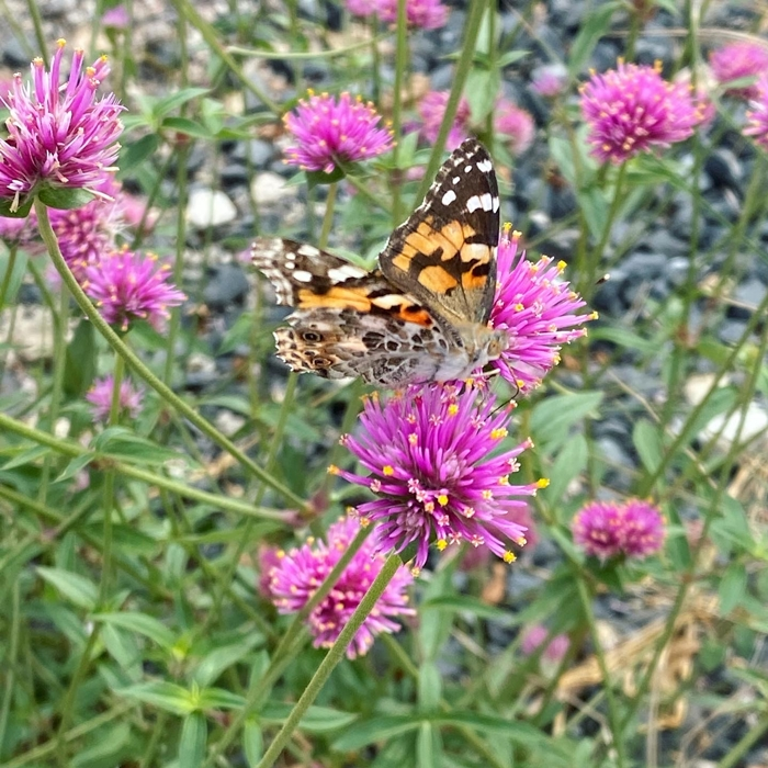 painted lady butterfly in fredericksburg, TX