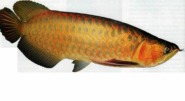 Langkah Memasang Chip Pada Ikan Arwana Asia