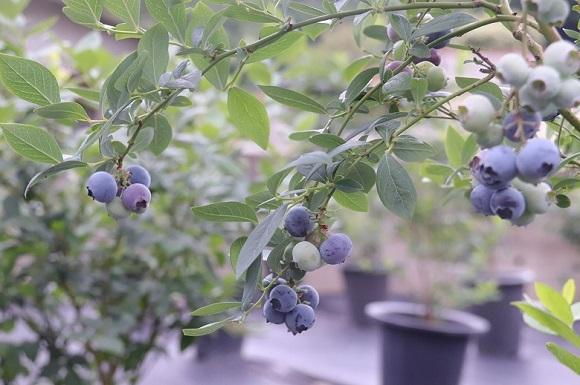 sadike-ameriških-borovnic