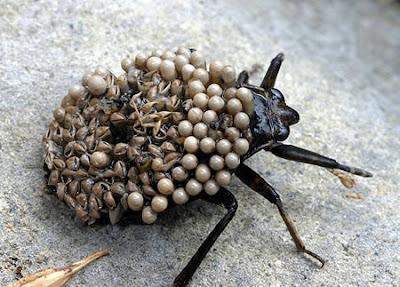 Giant Water Bug, Belostomatidae