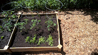 our first garden with tomato cages and herbs