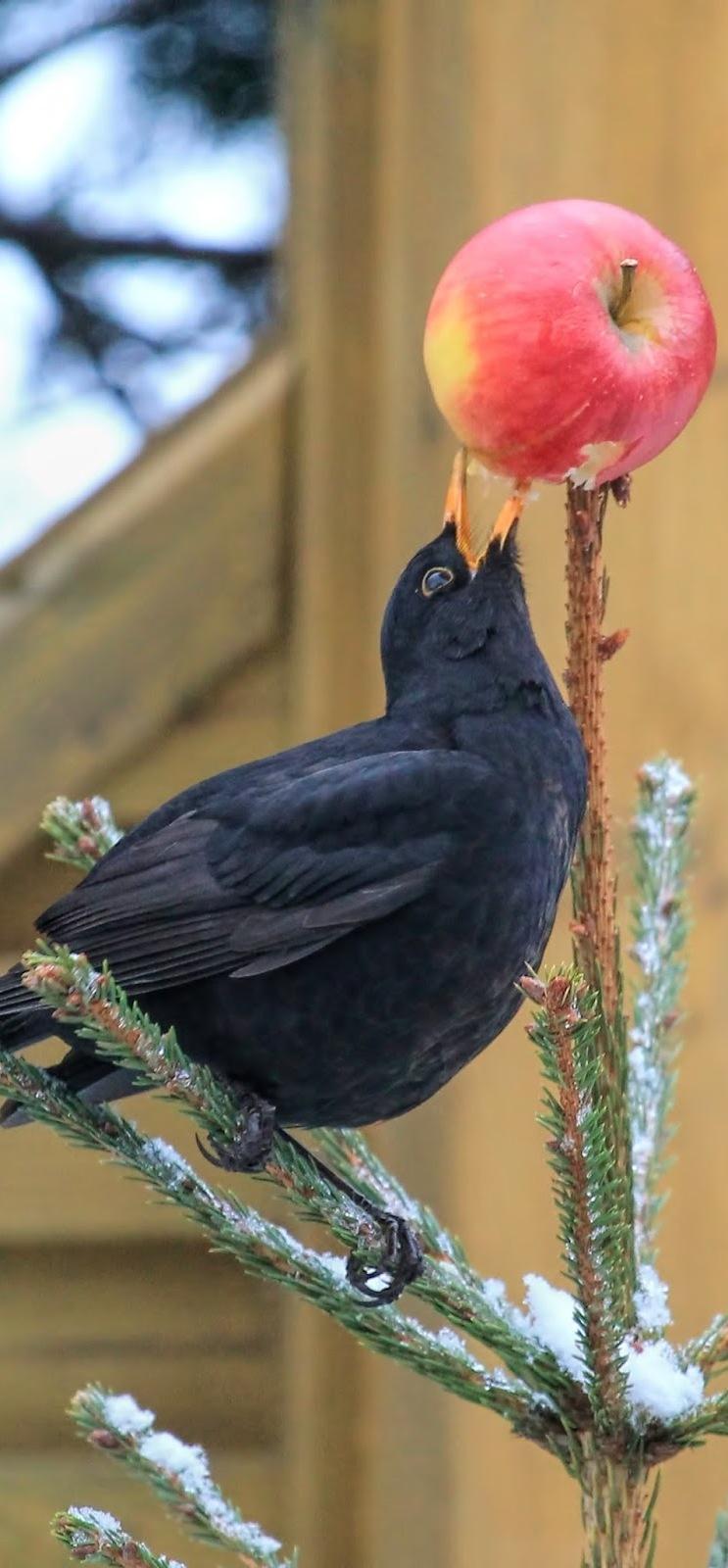 Blackbird apple trick.