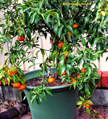 Mandarins Growing In A Pot