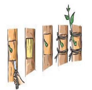 Perkembangbiakan Vegetatif Buatan, cara perkembangbiakan tumbuhan, (Cara Mencangkok, Menyetek, cara mencangkok tanaman, stek batang, cara stek tanaman, cara menyetek tanaman, perkembangbiakan vegetatif, cangkok tanaman, cara menyambung tanaman)