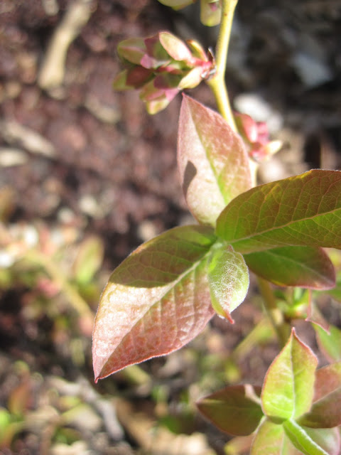 blueberry leaves turning red