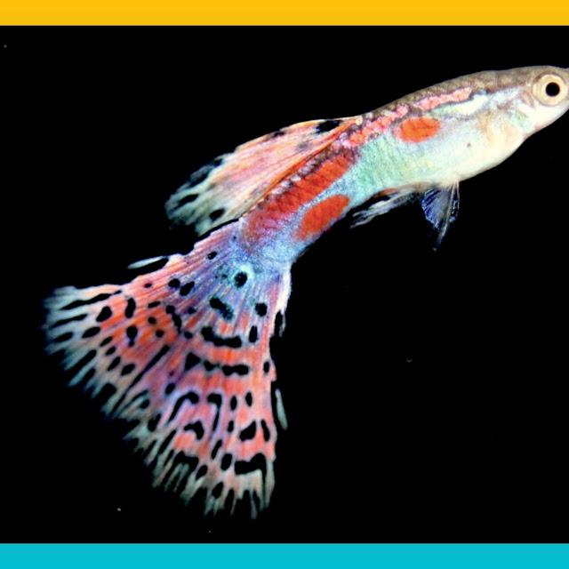 Jenis ikan Guppy