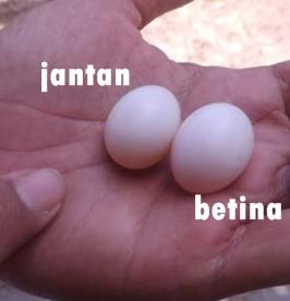 Cara membedakan telur perkutut jantan dan betina