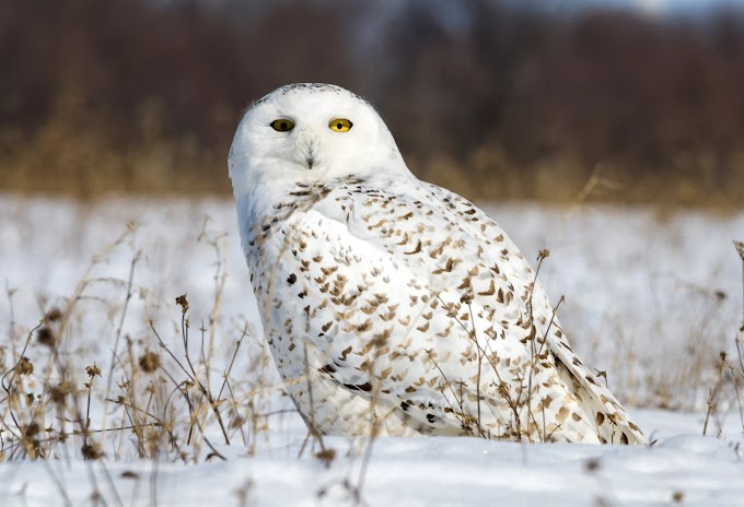 Snowy Owl Bird Location
