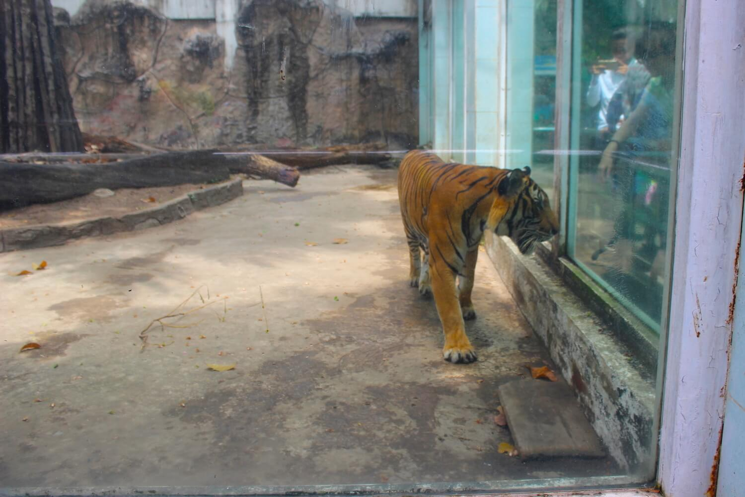 tiger at the ho chi minh city zoo