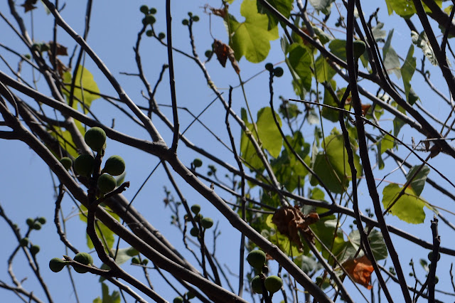 figs in the sky (with diamond)