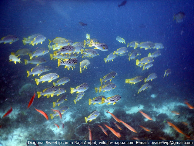 tropical reef fish in Mansuar and Kri island