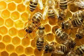 النحل يشرب الخمر ويسكر ويعاقب عليه سبحان الله