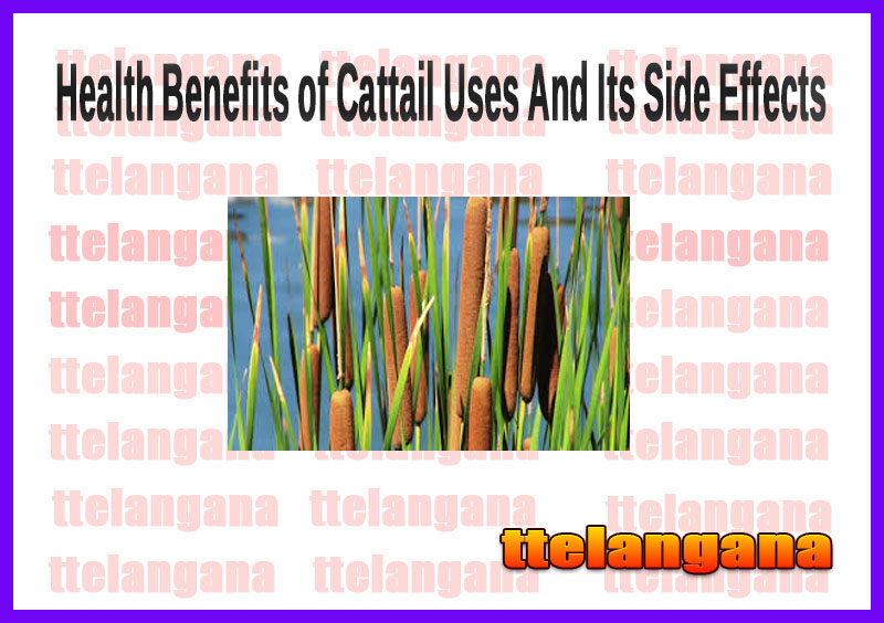 Health Benefits of Cattail Uses And Its Side Effects