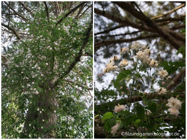 Ramblerrose in Schwarzkiefer