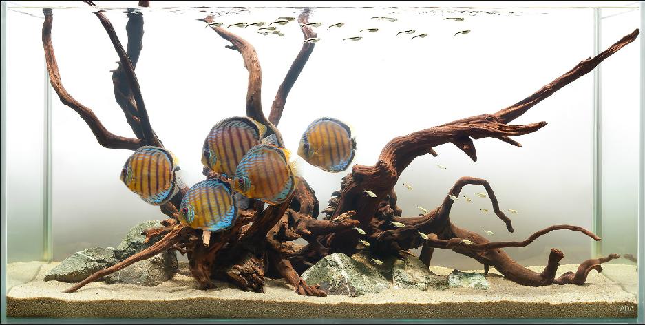 hồ thủy sinh không trồng cây nuôi cá dĩa