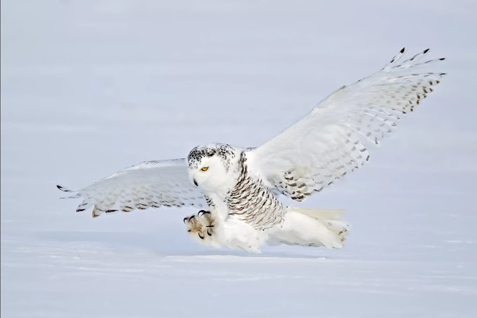 MALE & FEMALE SNOWY OWLS  BIRD DIFFERENT